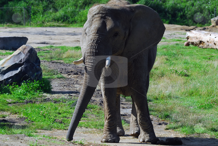 Elephant stock photo, Picture of a big elephant outside by Alain Turgeon