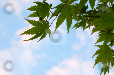Green Japanese Maple against blue sky stock photo,  by Heather Shelley