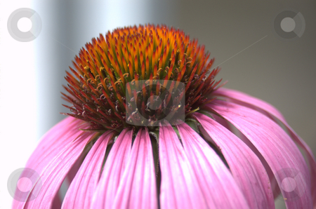 Echinacea-Purple Coneflower stock photo,  by Heather Shelley