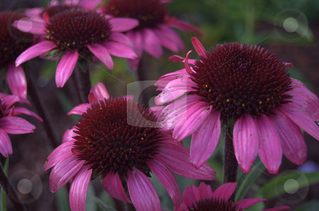Echinacea  Big Sky After Midnight stock photo,  by Heather Shelley