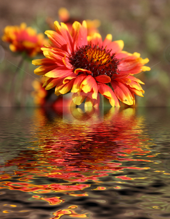 Flower reflection stock photo, Flower reflection by Minka Ruskova-Stefanova