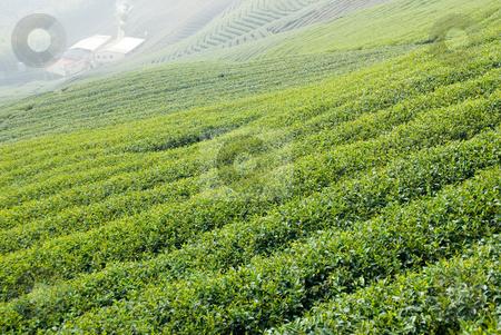 Tea trees on hill stock photo, Full of tea trees on hill, asia by Lawren