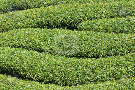 Rows of tea tree  stock photo, Rows of tea tree, Asia by Lawren