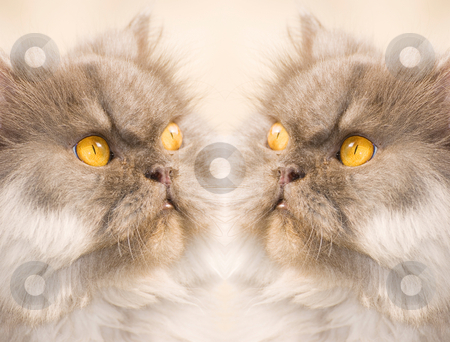 Concentrate cat stock photo, Two Concentrate cat, face to face by Lawren
