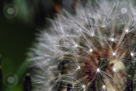 Dandelion stock photo, Closeup picture of a dandelion or taraxacum in bloom by Alain Turgeon