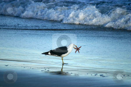 Seagul holding a starfish in it's beak on the beach stock photo, Seagull holding a starfish in it's beak before eating it on a Chilean beach by Philip Muller