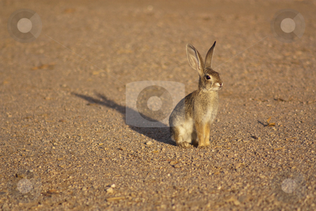 Cottontail Rabbit stock photo, A cottontail rabbit standing on gravel, lit by the sunset by Patrick Noonan