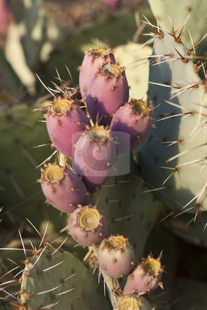 Prickly Pear Cactus stock photo, A cluster of fruit on a prickly pear cactus by Patrick Noonan