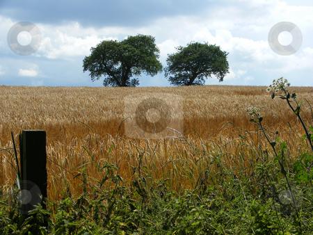 Cornfield stock photo, Cornfield ready for harvest by Stuart Atton