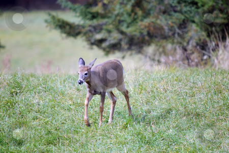 Whitetail deer stock photo, A young whitetail deer walking in a field by Alain Turgeon