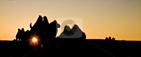 Camel herd stock photo, A camel herd contour with sun glowing by Mircea Struteanu