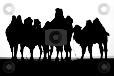 Camel heard stock photo, Black and white camel shadows in the desert by Mircea Struteanu