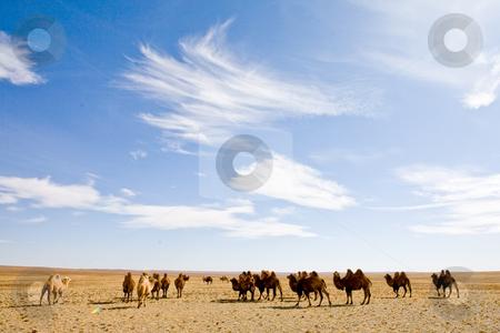Camel heard stock photo, A camel heard in the Gobi Desert by Mircea Struteanu