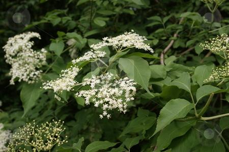 In flower standing elderberries stock photo, In Bl???te stehender Hollunder / in flower standing elderberries by Thomas K?