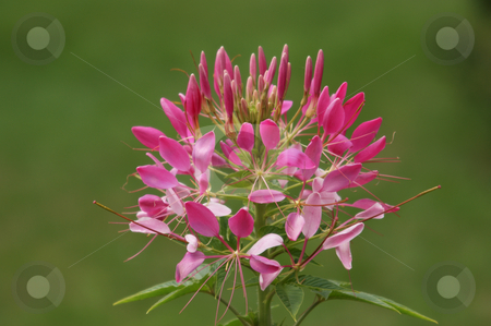 Delicate pink flower stock photo, Filigrane rosa farbene Bl???te / delicate pink flower by Thomas K?