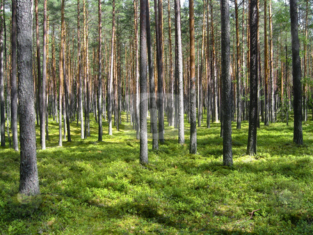 Dreamy pine forest stock photo, Dreamy pine forest in South Estonia by Alessandro Rizzolli