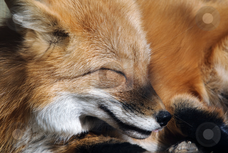 Red Fox Portrait stock photo, Close-up portrait of a beautiful wild Red Fox by Alain Turgeon