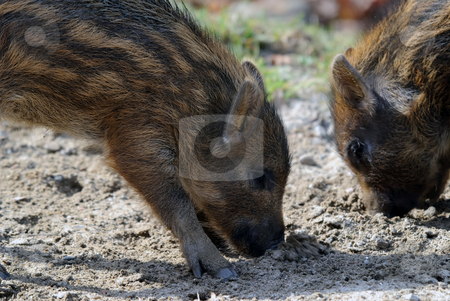 Young Wild Boar stock photo, Close-up picture of two baby wild boar eating by Alain Turgeon