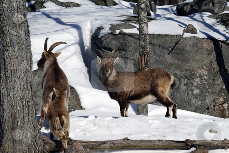 Alpine Ibex stock photo, Alpine Ibex in Winter by Alain Turgeon