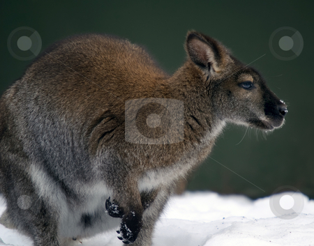 Kangaroo in the snow stock photo, Picture of a Kangaroo in a snowy environment by Alain Turgeon