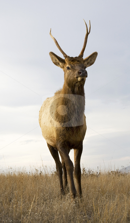 Young Male Elk with Horns Standing Close Up National Bison Range stock photo, Young Male Elk with Horns Standing National Bison Range Charlo Montana by William Perry