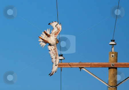 Power Line Collision stock photo, Electrocutions and collisions with electric power lines cause the death of thousands of raptors every year.  This female  Ferruginous Hawk only clipped one wire with her wing and was not injured. by Brenda Carson