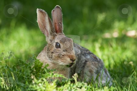 Wild Rabbit stock photo, A wild rabbit grazing on some wild foliage. by Brenda Carson