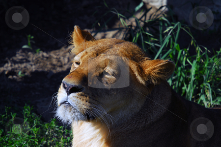 Female lion stock photo, Close up portrait of a female lion by Alain Turgeon