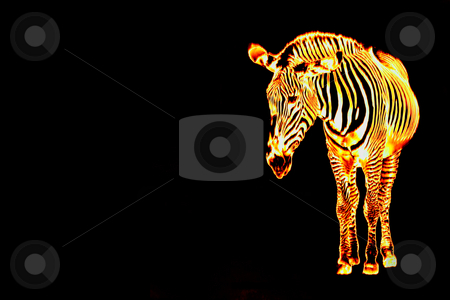 Fiery Flaming Zebra stock photo, A fiery zebra isolated over a black background with copyspace. by Todd Arena