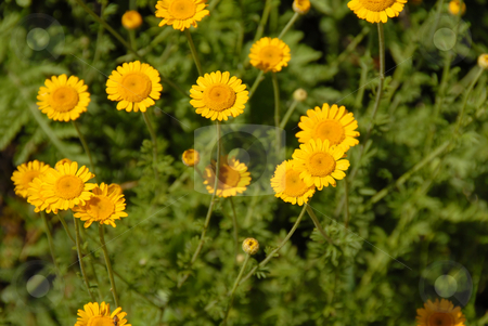 Meadow yellow flowers stock photo, Yellow flowers over green natural floral background by Julija Sapic