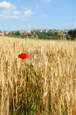Summer field stock photo, Red poppy in yellow wheat field at scenic rural background by Julija Sapic