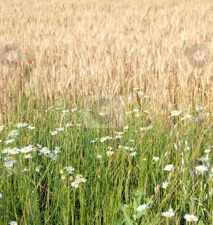 Summer field stock photo, White daisies in green meadow and wheat field by Julija Sapic