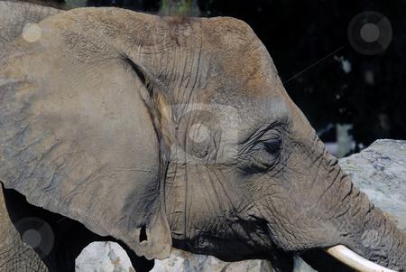 Elephant stock photo, Close-up portrait of a big African elephant by Alain Turgeon
