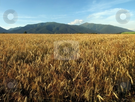 Wide panorama of ripe corn field stock photo, Wide panorama of ripe corn field in summer day with blue sky by Juraj Kovacik