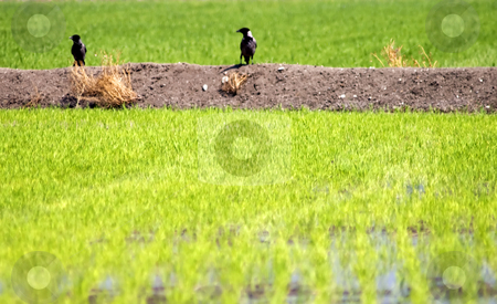 Crows stock photo, View of a field of golden wheat by Fabio Alcini