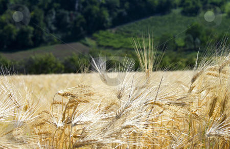 Field stock photo, View of a field of golden wheat by Fabio Alcini