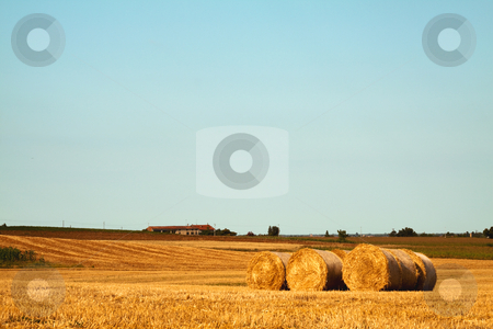 Field stock photo, View of a field of golden wheat by Fabio Alcini