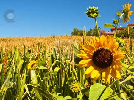 Sunflower stock photo, Landscape with a gorgeous sunflower over a field by Fabio Alcini