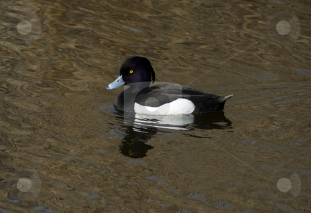 Duck stock photo, Beautiful duck with different colors swimming in the river by Chris Willemsen