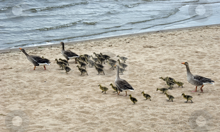 Geese stock photo, Family geese with ypung new born babys running to the see from the beach by Chris Willemsen