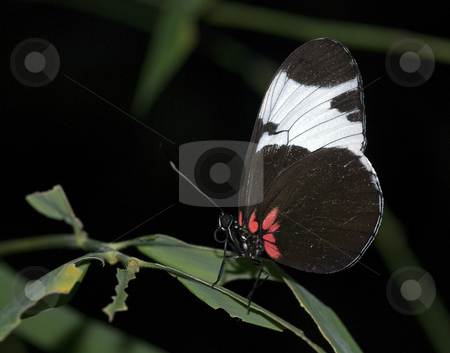 Butterfly stock photo, Beautiful butterfly on a green leaf in the butterfly garden by Chris Willemsen