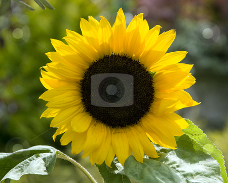 Sunflower stock photo, Yellow sunflower in a garden in holland, in the sun by Chris Willemsen