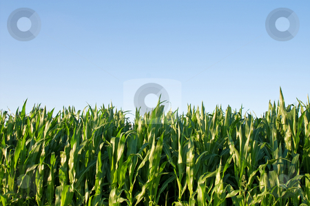 Cornfield stock photo, Green cornfield against bright blue clear sky by Karin Claus
