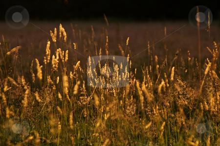 Close up summer glow grassland  stock photo, Close up summer glow grassland with bright light of the sunset by Karin Claus