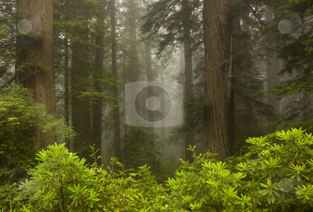Giants in the Mist stock photo, Rhododendrons and Redwood Trees hide in the morning mist. by Mike Dawson