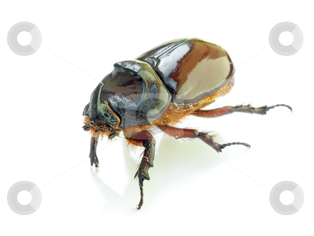 Scarab beetle stock photo, Stag beetle with a shadow on a white background. by Sinisa Botas
