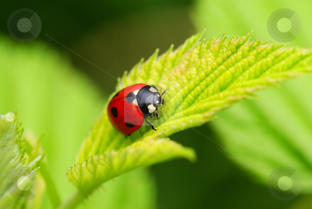 Ladybird stock photo, Red speckled  ladybird on the leaf by Jolanta Dabrowska