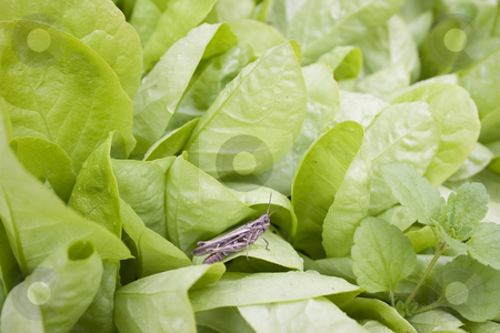 Grasshopper stock photo, Grasshopper by Minka Ruskova-Stefanova