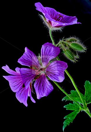 Garden geranium (Ger. ? magnificum)   stock photo, Garden geranium photographed in may 2009 near Frankfurt , Germany by Manuela Schueler