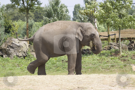 Elephant stock photo, An elephant is eating some hay at the zoo by Inge Schepers